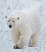 k1 Polar Bear